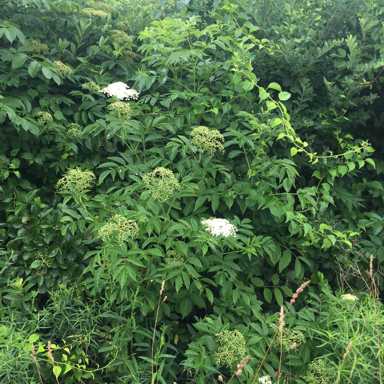 Elderflower Tincture - Wild harvested on the coast of Rhode Island