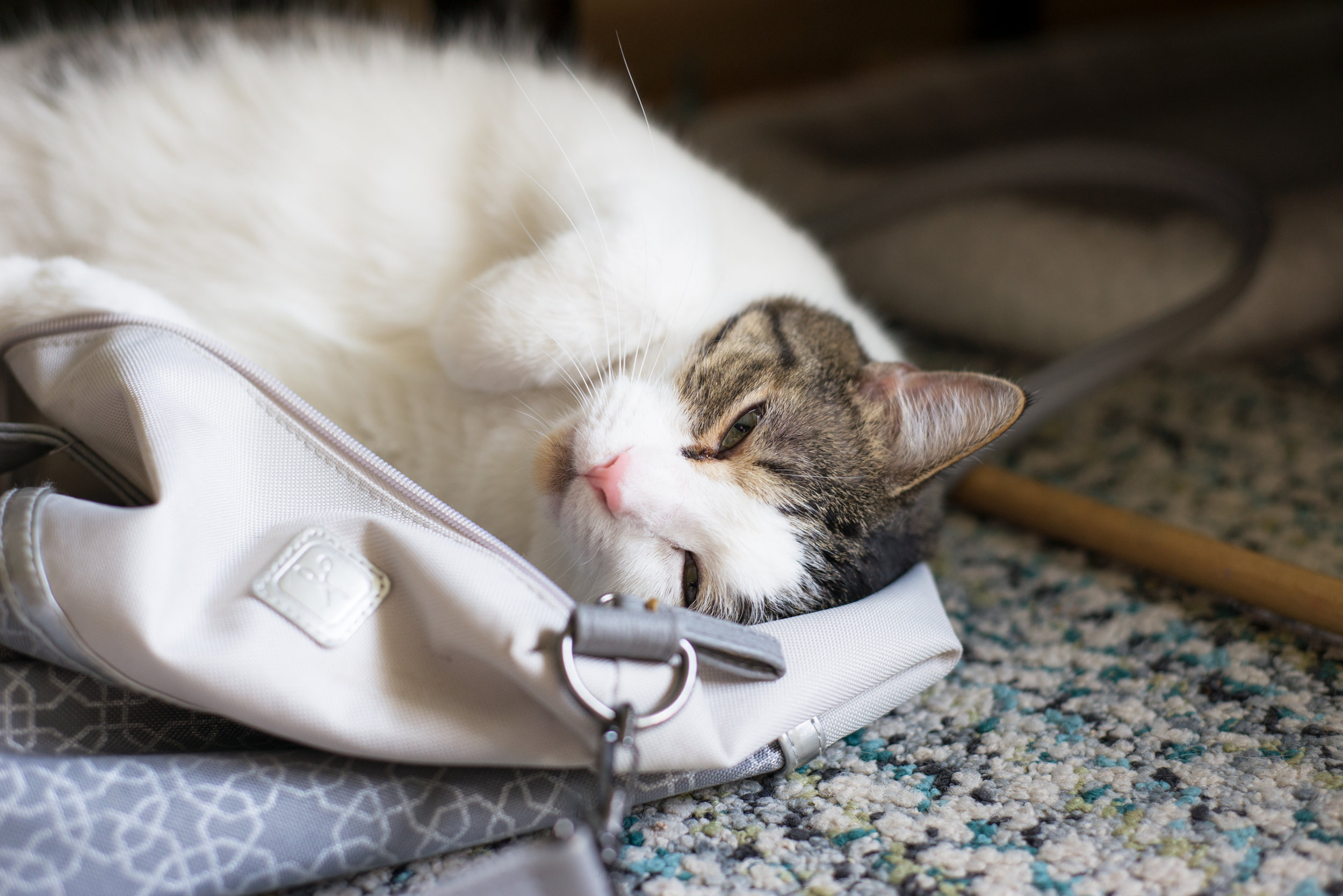 A picture of a domestic short hair cat with a white tummy and black and brown stripes looking at the camera. The cat is slightly on it's side and scrunched up as it is laying in a bag.