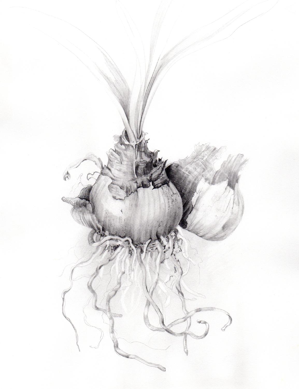 drawing-rendering-bulb-roots.jpg