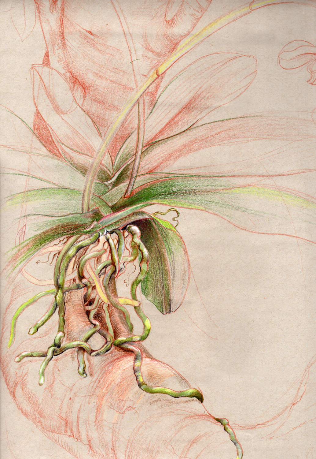drawing-roots-orchid.jpg