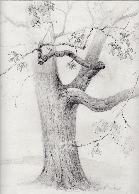 drawing-sketch-tree-oak-NYBG-branches.jpg