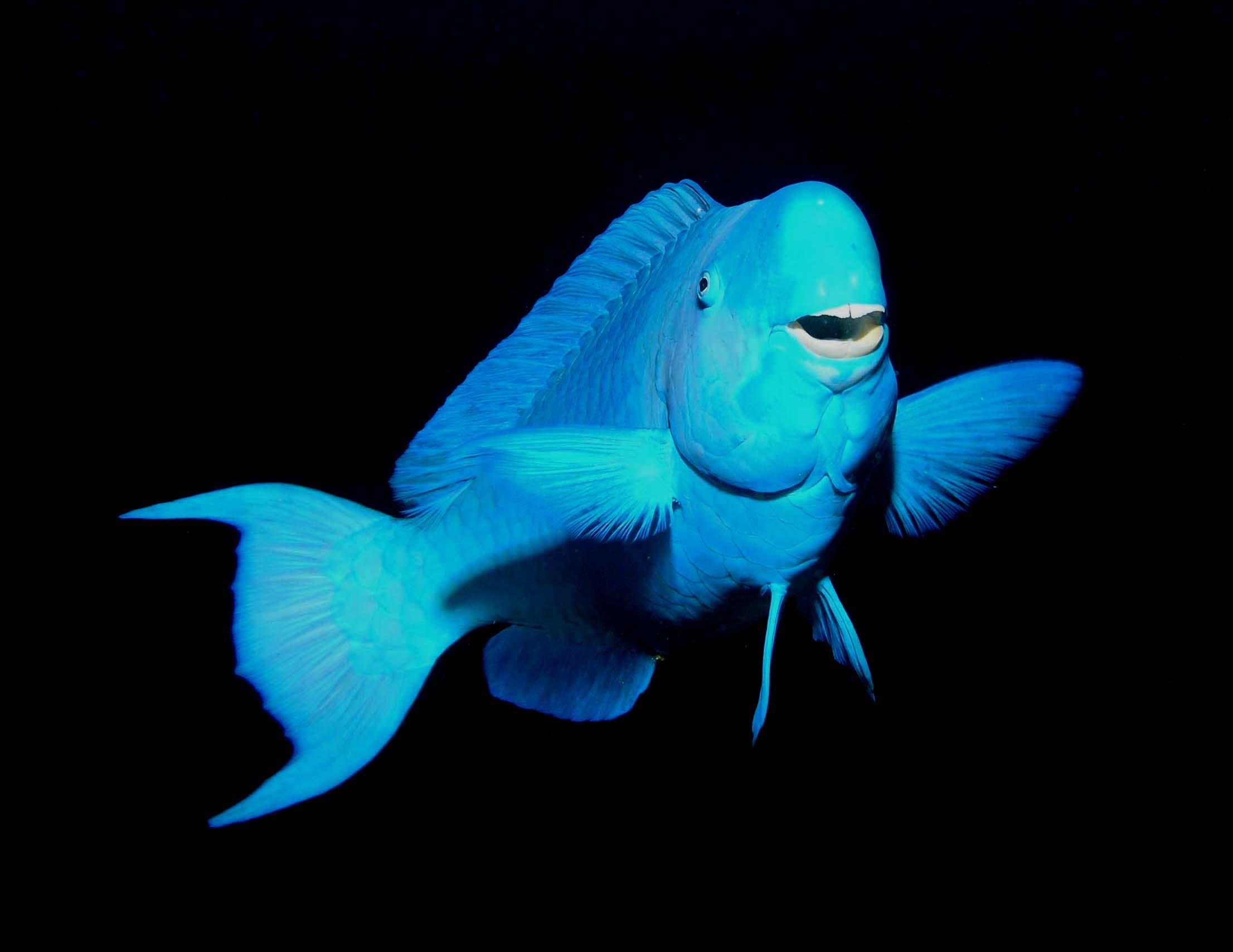 Blue Parrot Fish