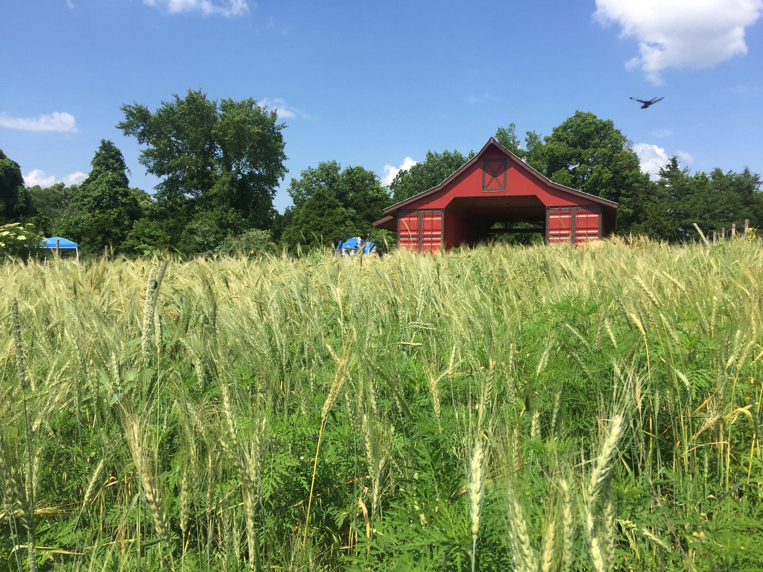 Heirloom Wheat.JPG