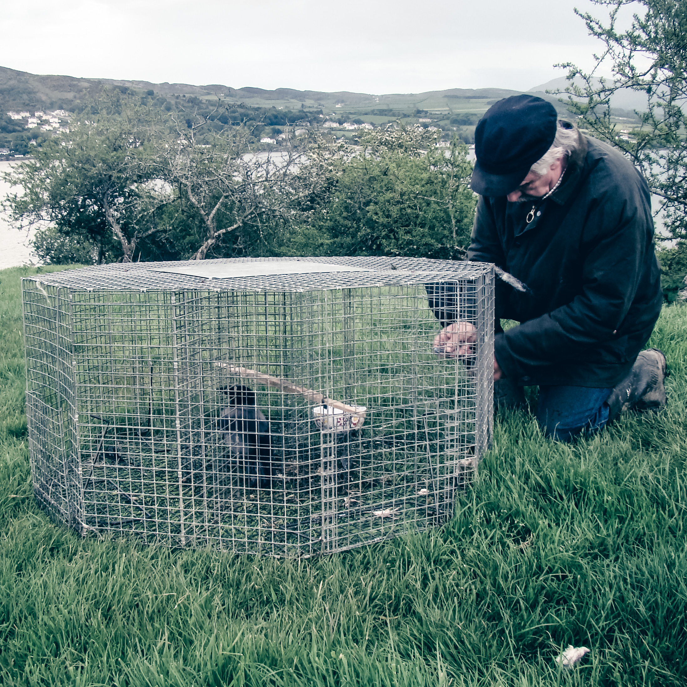 Setting a larson trap with Hooded crow-2.jpg