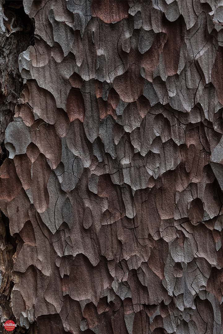 Lambertiana Bark Detail