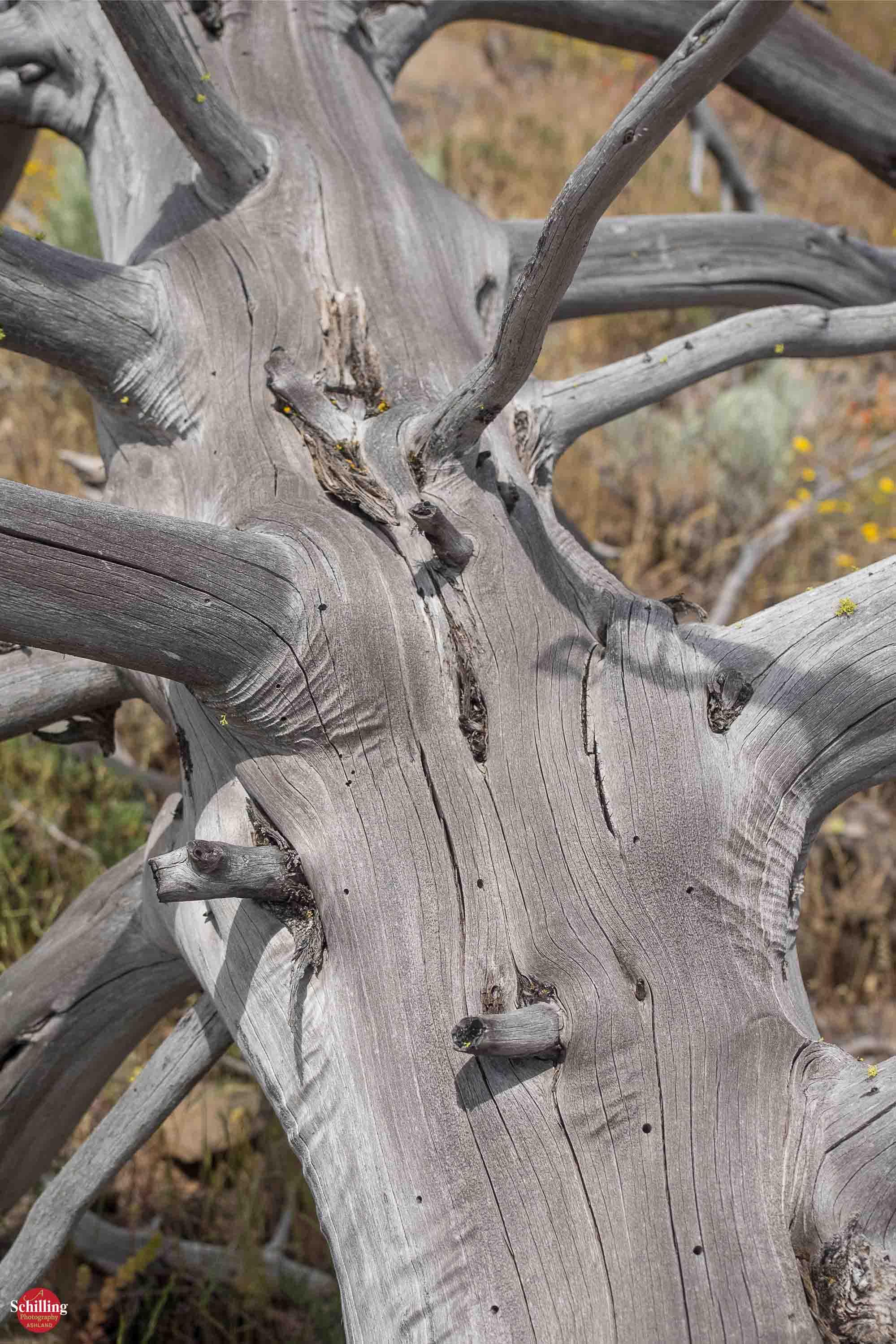 Skeletal Pine