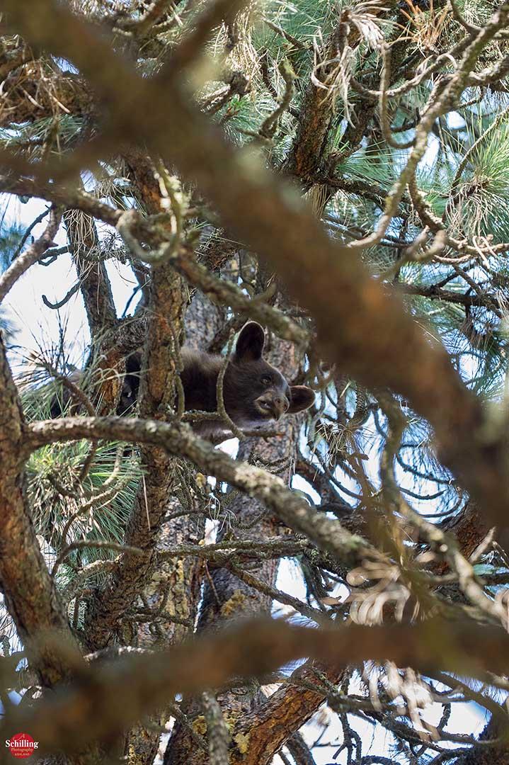 Arboreal Ursa 8