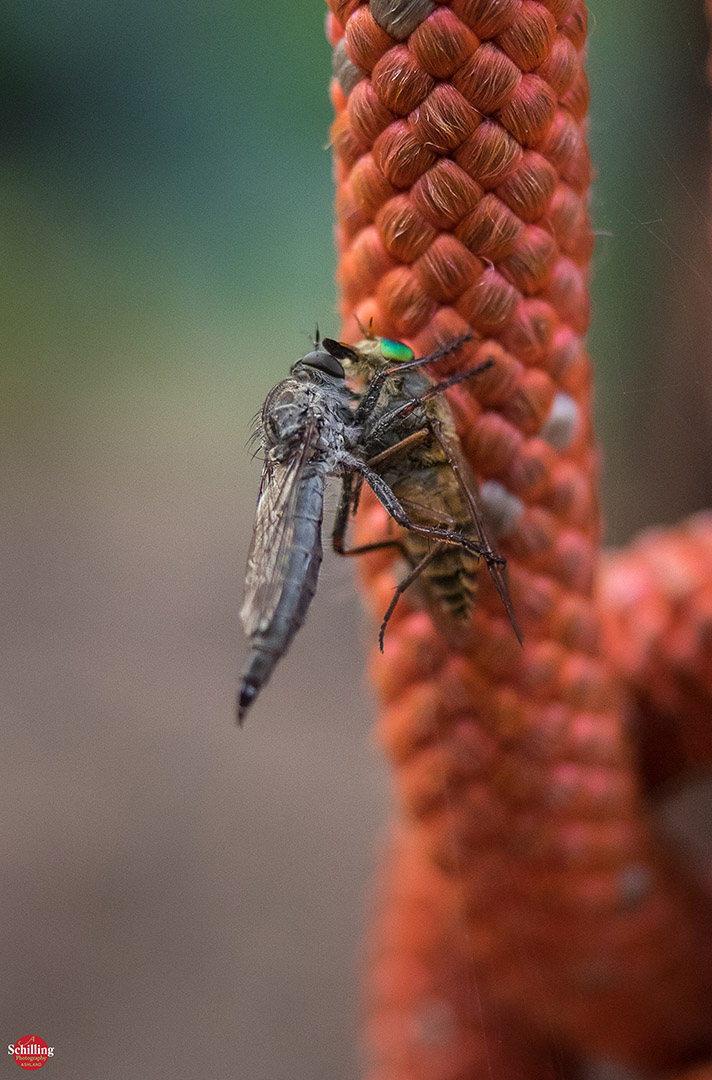 The Robberfly & Its Quarry
