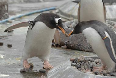 penguins pebble