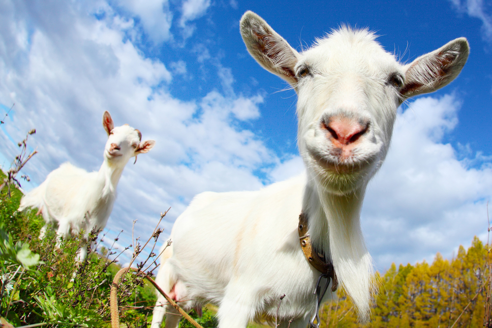 goats have accents