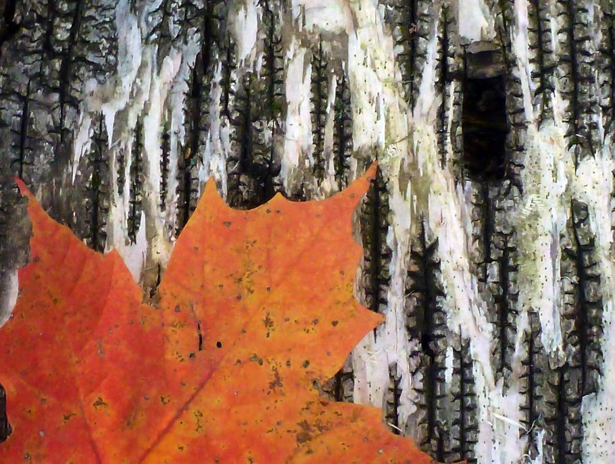 Fallen maple leaf on birch bark, Noonmark Mountain. Dave Kraus /  krausgrafik.smugmug.com
