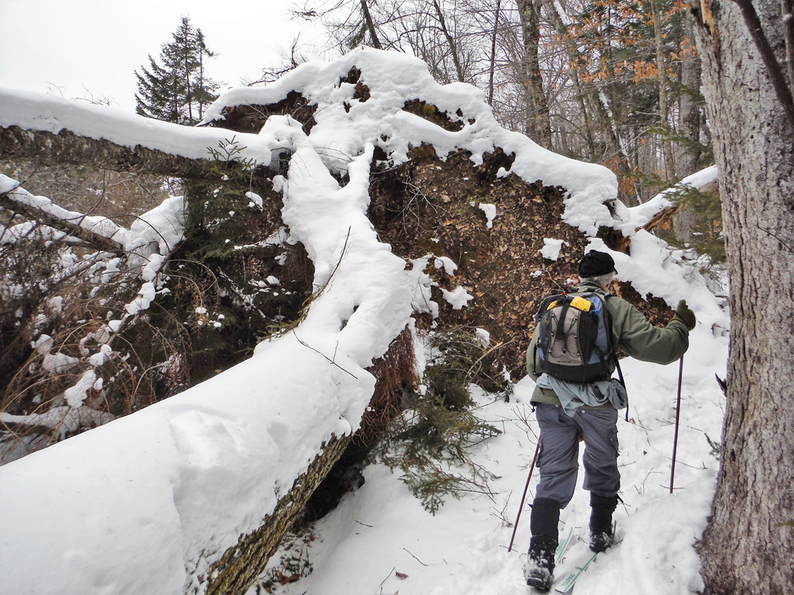 Negotiating a downed tree on the Foxy Brown Ski Loop.