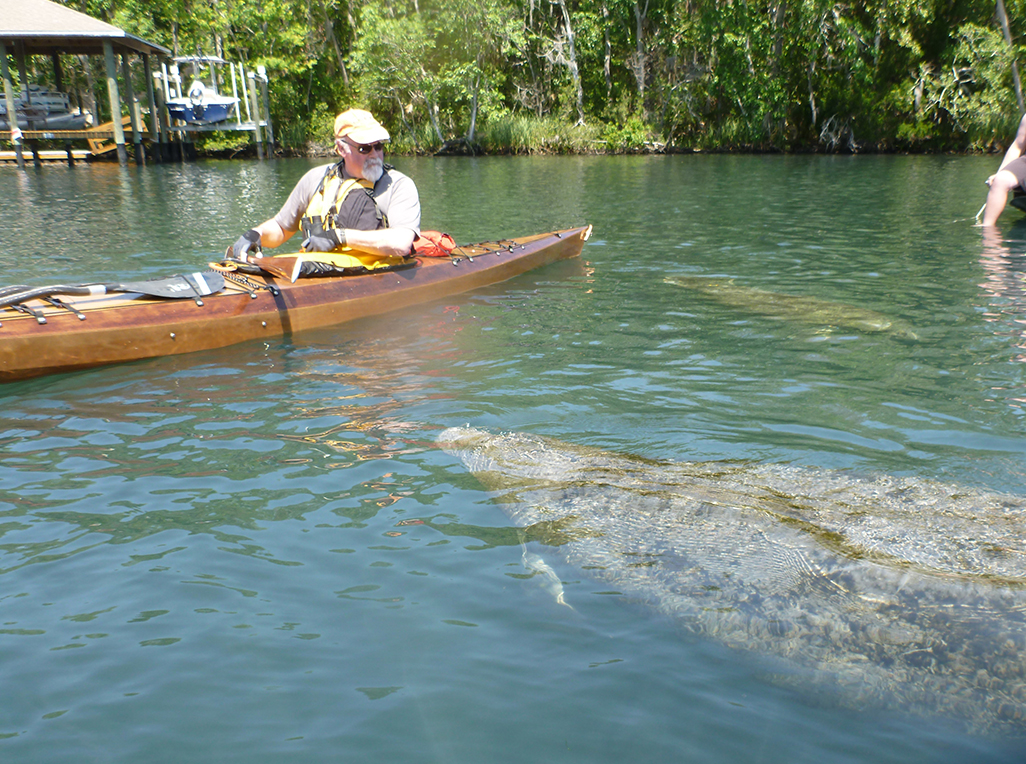 Homosassa River:  A Florida manatee comes to inspect Mike's kayak.   Alan Mapes