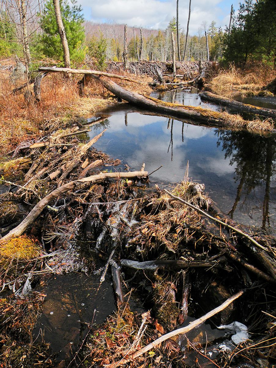▲ Sucker Brook beaver pond formed by prominent dams.  Bill Ingersoll