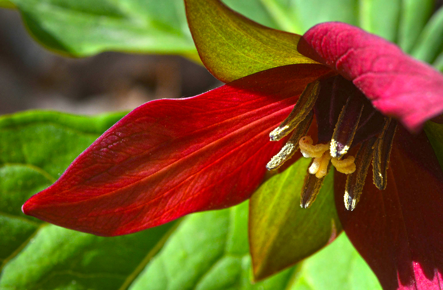 In early spring the Trilliums are some of the first flowers to bloom in the preserve. © Dave Kraus