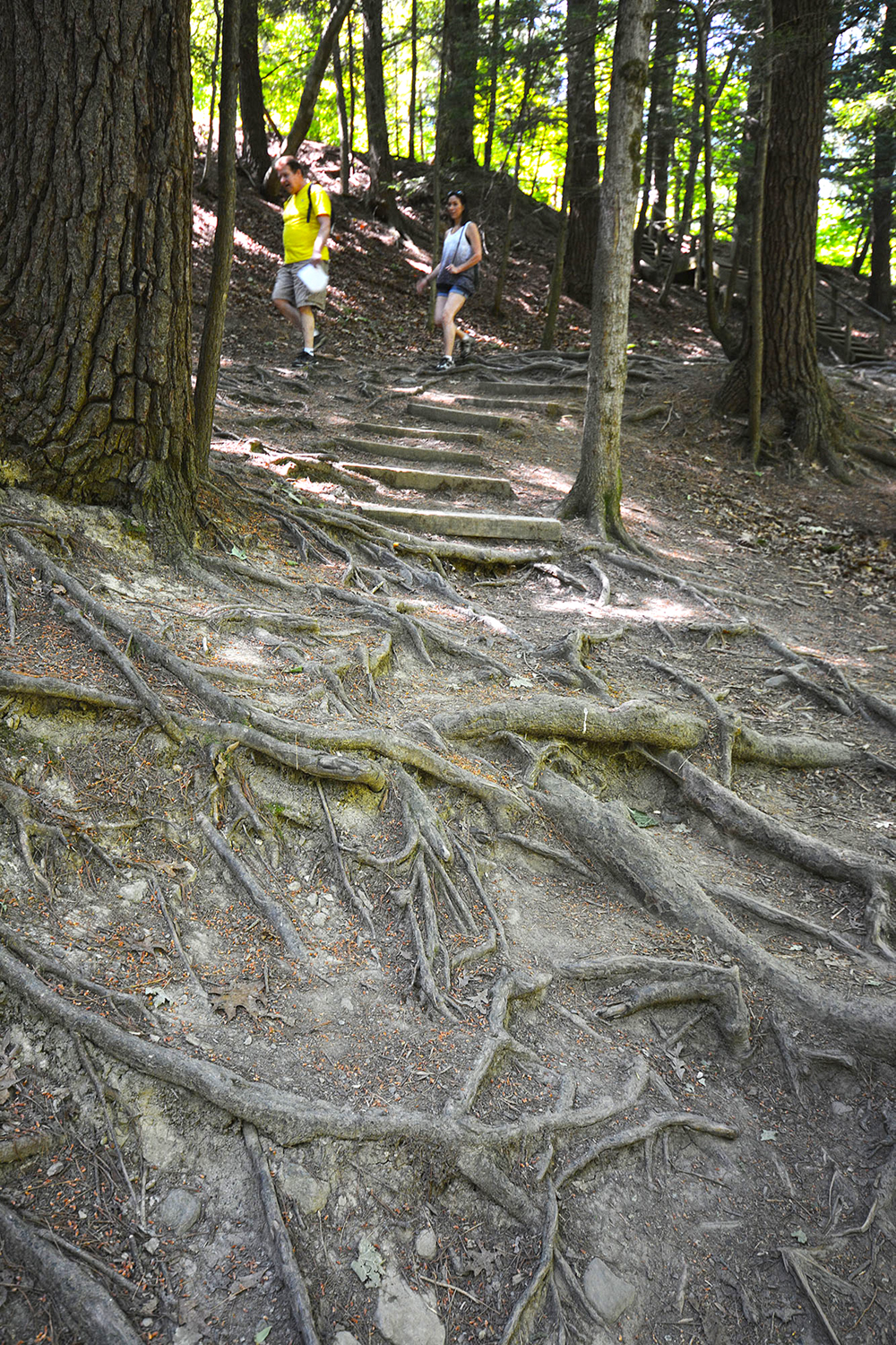 This spot near the footbridge demonstrates how trail use has led to exposed roots that require careful footing from visitors. © Dave Kraus