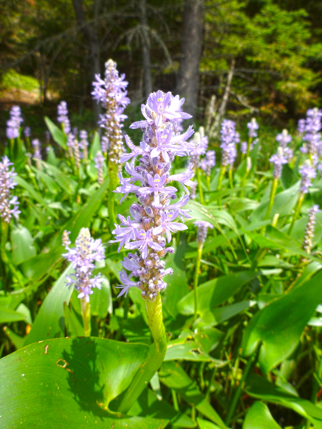Pickerel weed blossoms added color to the shallows of County Line Flow.  Alan Mapes