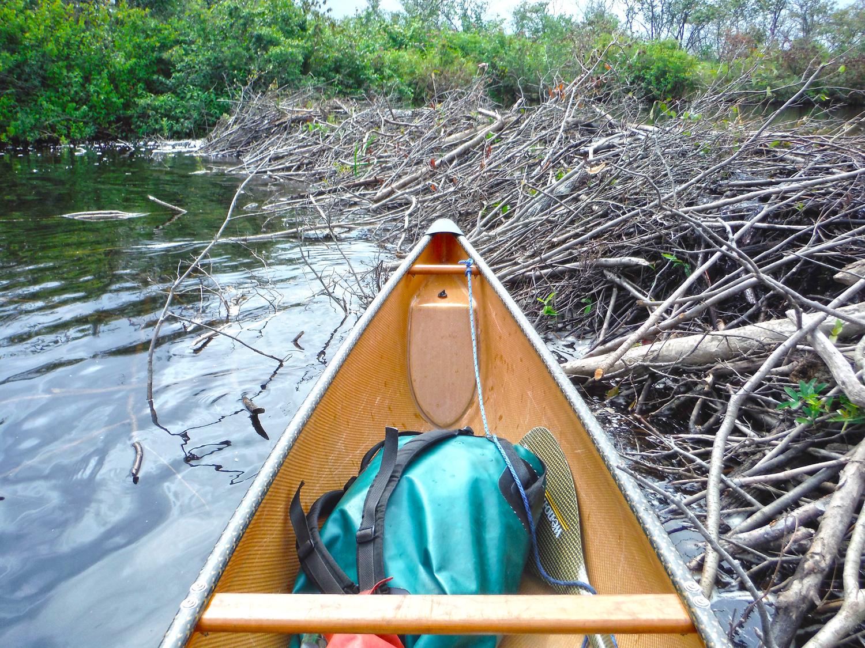 An impressive beaver dam on the Kunjamuk.  Rich Macha