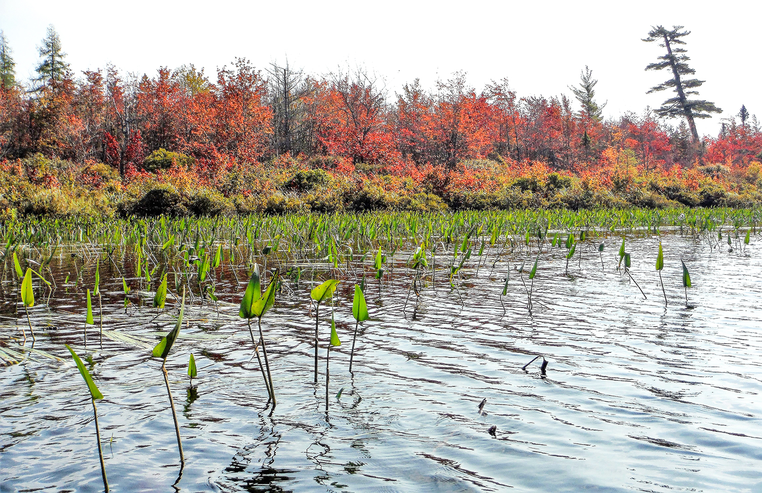 Red maples flank the channel between Little Tupper Lake and Round Lake.   Rich Macha