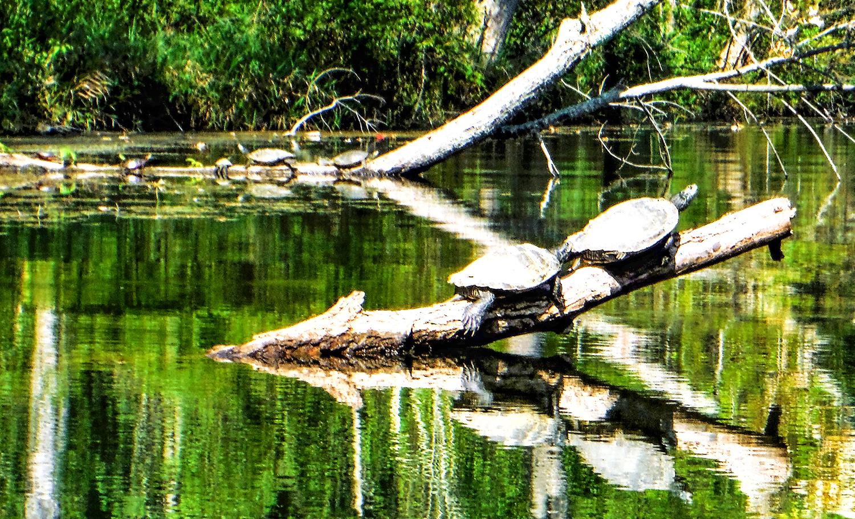 Turtles on Kayaderosseras Creek.   Rich Macha