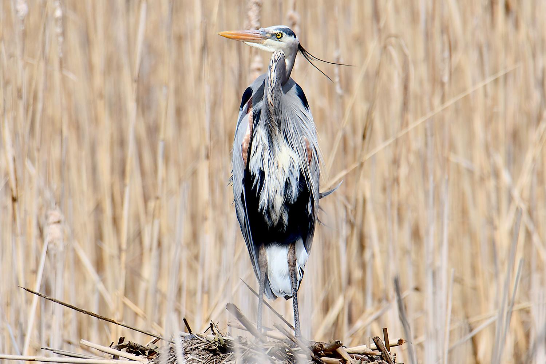 A great blue heron in full breeding plumage, standing on a muskrat lodge.  Michael Kalin
