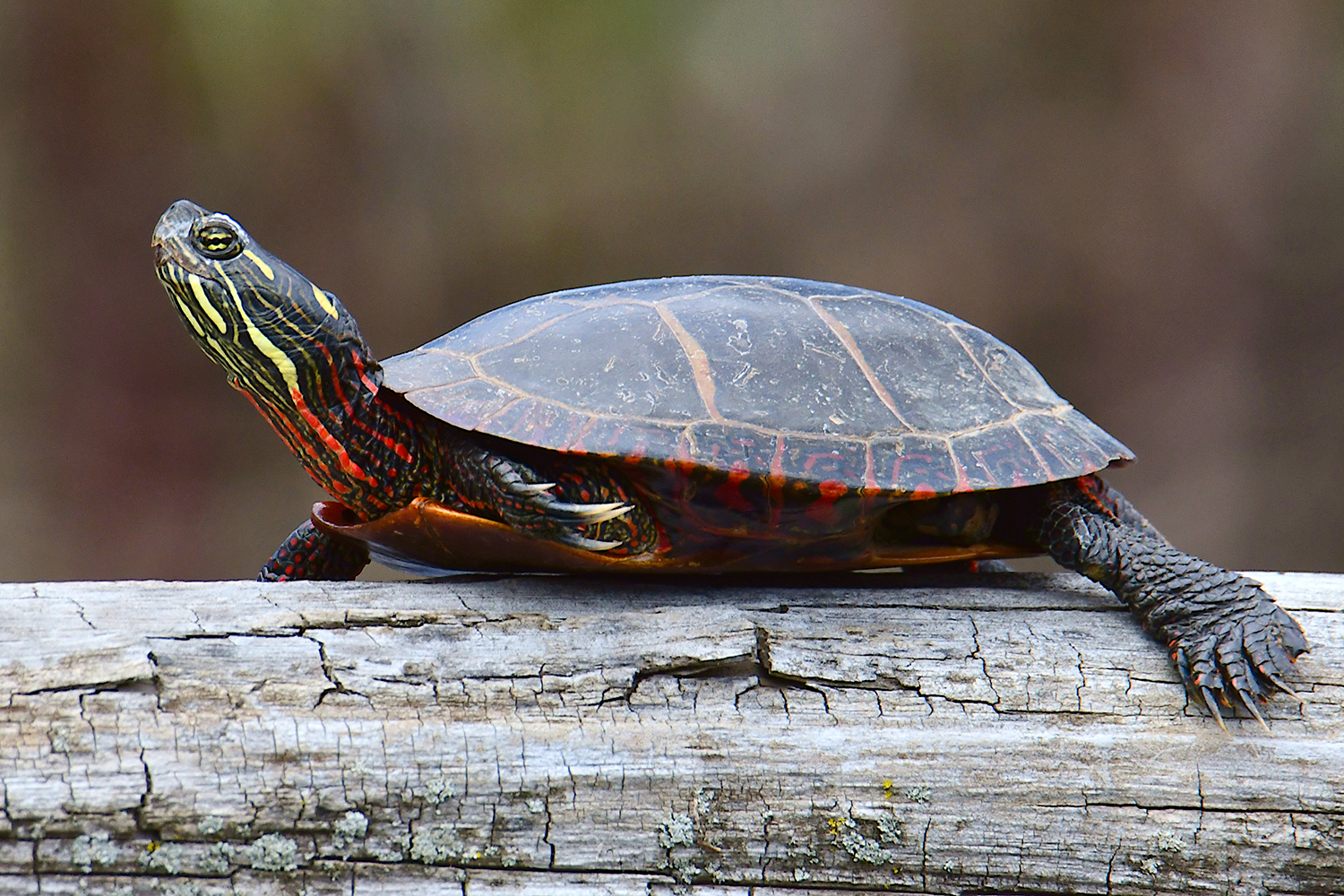 Many painted turtles were sunning on logs along the shore.  Michael Kalin