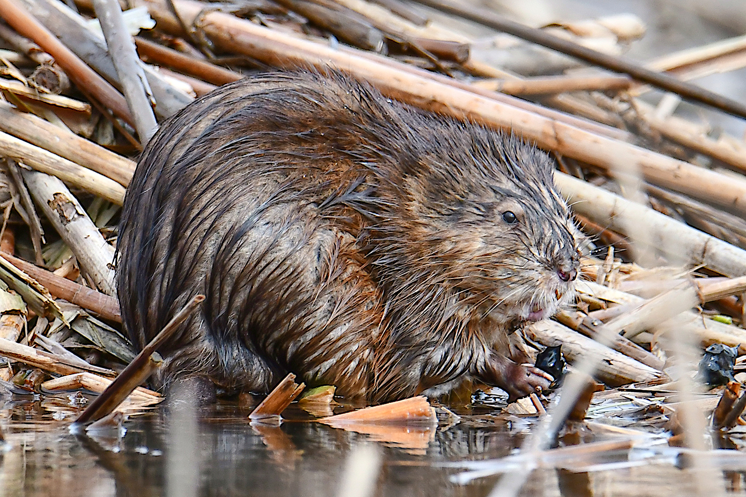 A Muskrat, common in the cattail marshes along the river, holding a water chestnut seed.  Michael Kalin