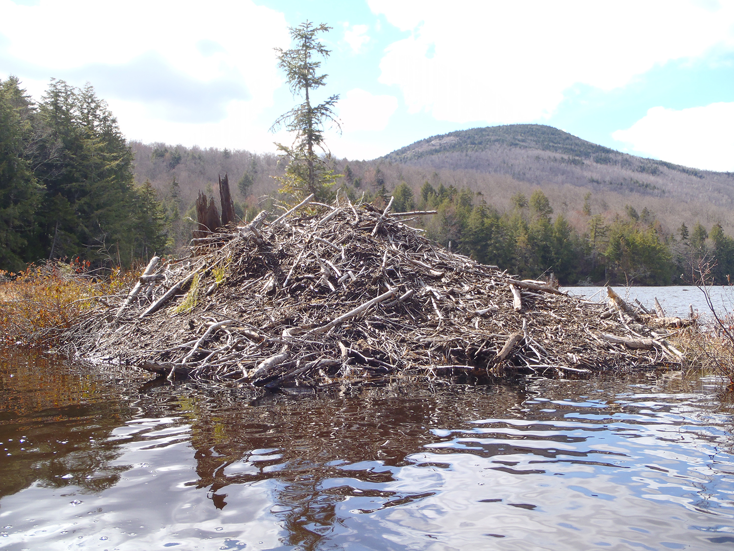 Beaver lodge on Garnet Lake with Mount Blue in the background.   Rich Macha