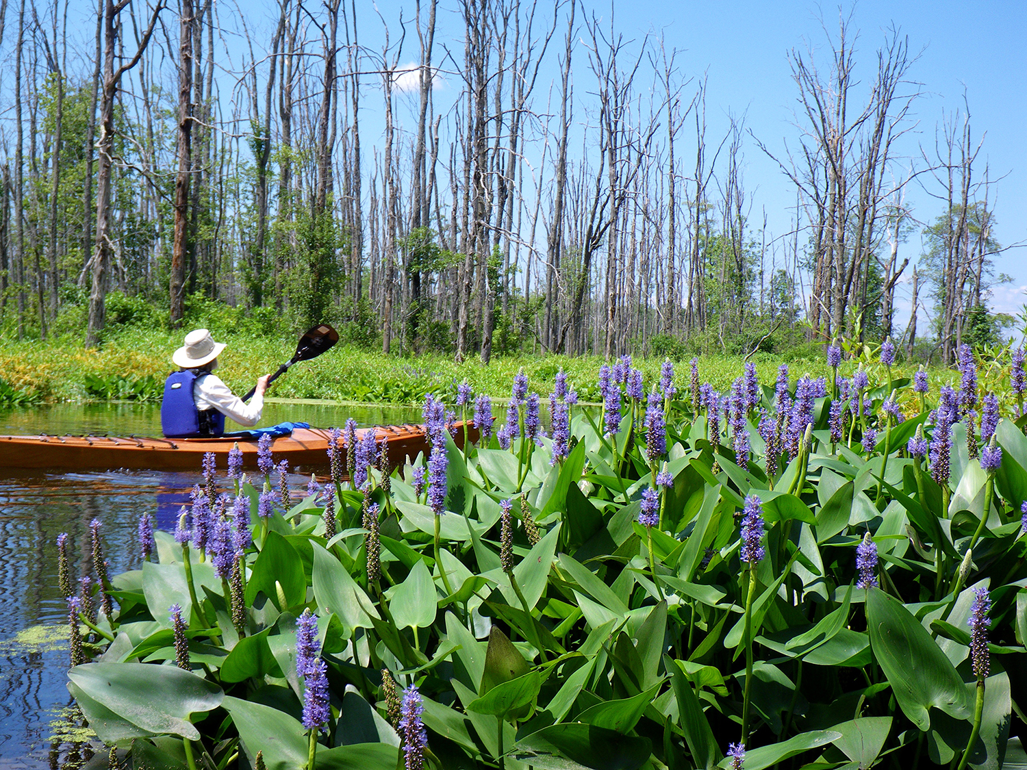 Pickerel weed along the Anthony Kill with Char Mapes paddling.   Alan Mapes