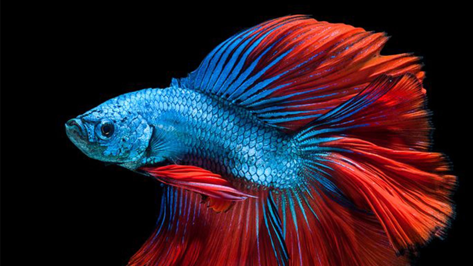 Blue betta fish.jpg