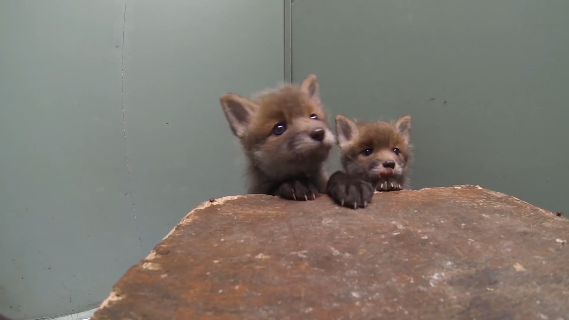 Foxes are treated by the team at the Wildlife Aid Foundation in Leatherhead as seen on Channel 5's Wildlife SOS.
