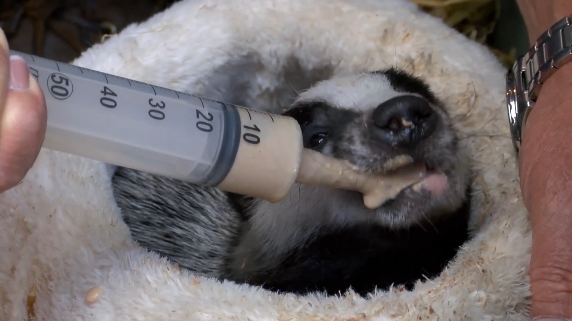 A badger is treated by the team at the Wildlife Aid Foundation in Leatherhead as seen on Channel 5's Wildlife SOS.