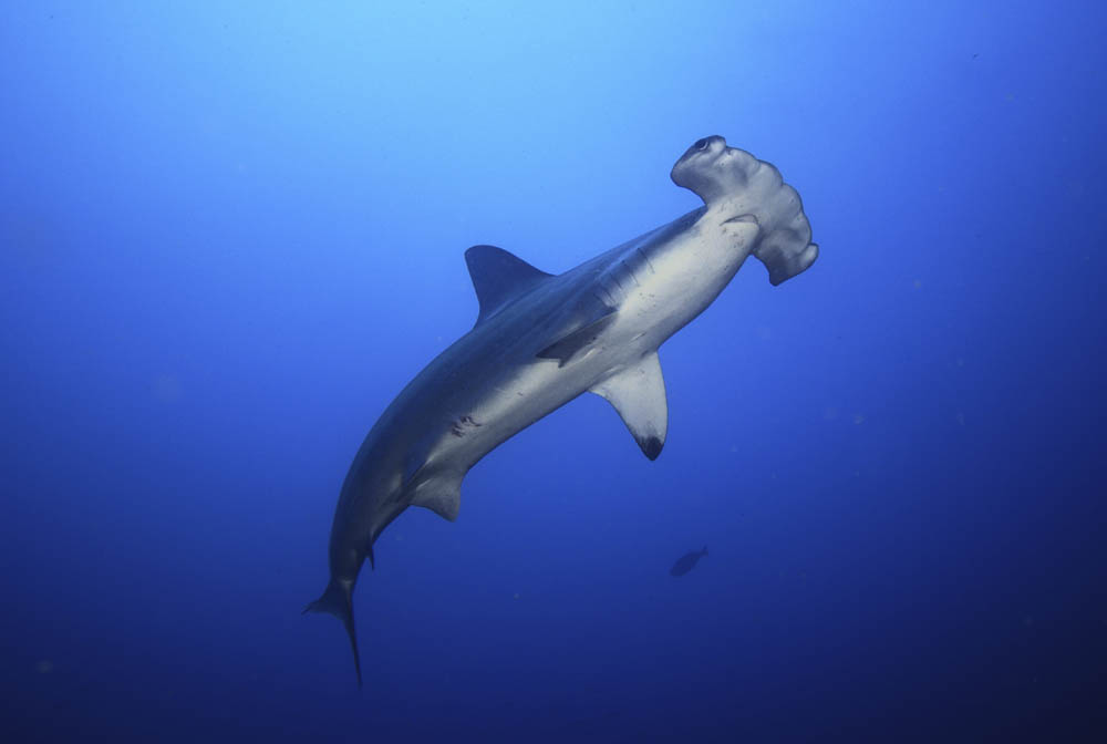A number of shark and ray species have benefitted from our CITES work. Stock photo