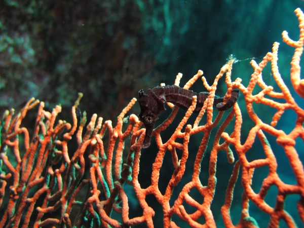 Hippocampus kuda , also known as the common seahorse, observed on a coral reef off the Andamn coast of Thailand by Shedd Aquarium Postdoctoral Research Associate Dr. Tse-Lynn Loh.  Photo: Dr. Tse-Lynn Loh/Shedd Aquarium