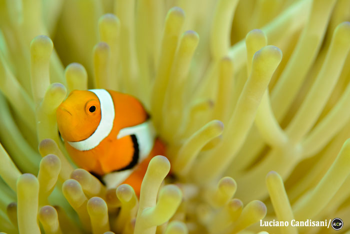 An anemonefish, one of many colourful reef species targeted by the aquarium fishery.