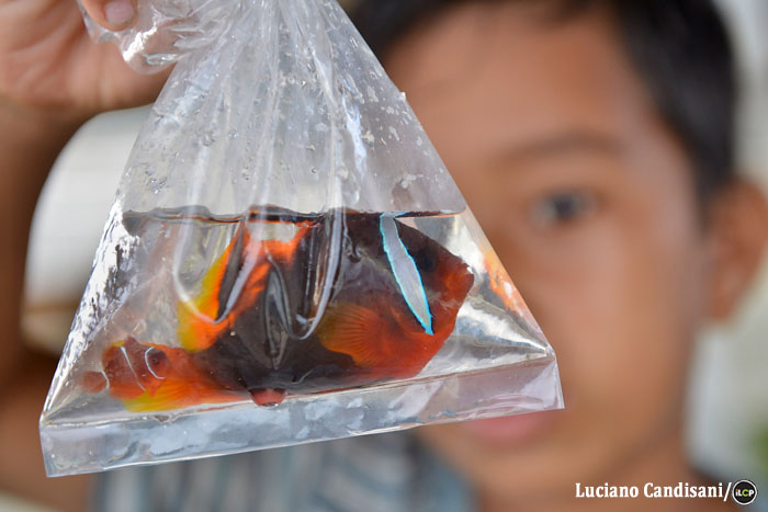 This anemonefish will be traded with the rest of the catch to certified exporters in nearby Cebu City.