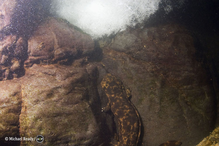 A Japanese giant salamander ( Andrias japonicus ) faces the current in a river pool. This ancient amphibian grows up to 56 inches (142 cm) in length and is believed to have a lifespan possibly over 100 years.