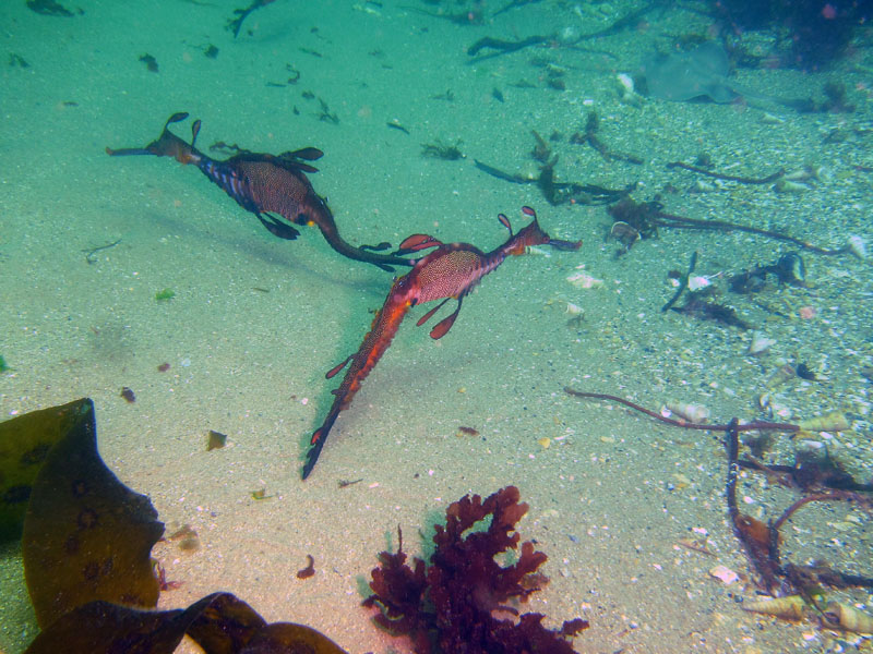 Weedy seadragons gather in large groups of 20 or more individuals to breed, akin to 'lekking' behaviour in some land animals. Photo: Keith Martin-Smith/Project Seahorse