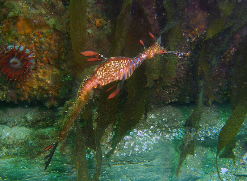 As in the case of seahorses, male seadragons carry the fertilized eggs. Instead of carrying them in pouches, seadragons carry them on brood patches, a specialized area of skin on the underside of their tails. Here, a male carries eggs that have become covered in algae as they develop. Photo: Keith Martin-Smith/Project Seahorse