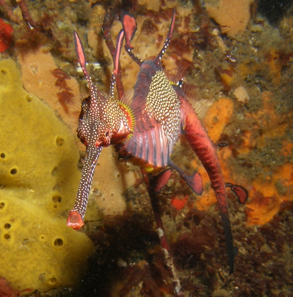 A weedy seadragon feeding. Seadragons depend on mysid shrimp, sea lice, and other tiny marine creatures for sustenance. Their fused jaw allows them to suck their prey from the surrounding water with great efficiency.  Photo: Keith Martin-Smith/Project Seahorse
