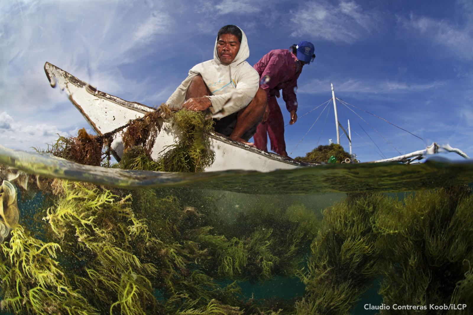 Seaweed farmers harvest their crop. Seaweed farming has become a valuable alternative livelihood on Danajon Bank. Claudio Contreras Koob/iLCP