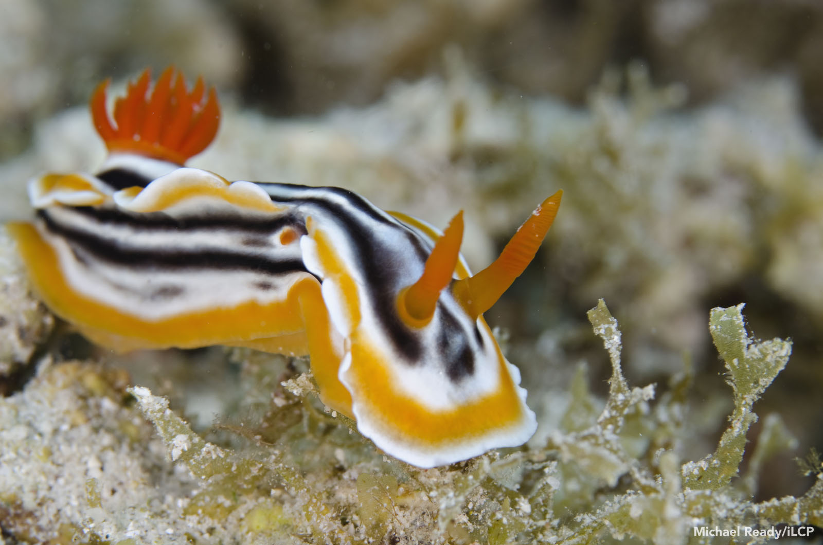 A magnificent chromodoris nudibranch, or sea slug, feeds on sponges growing on the reef. Michael Ready/iLCP