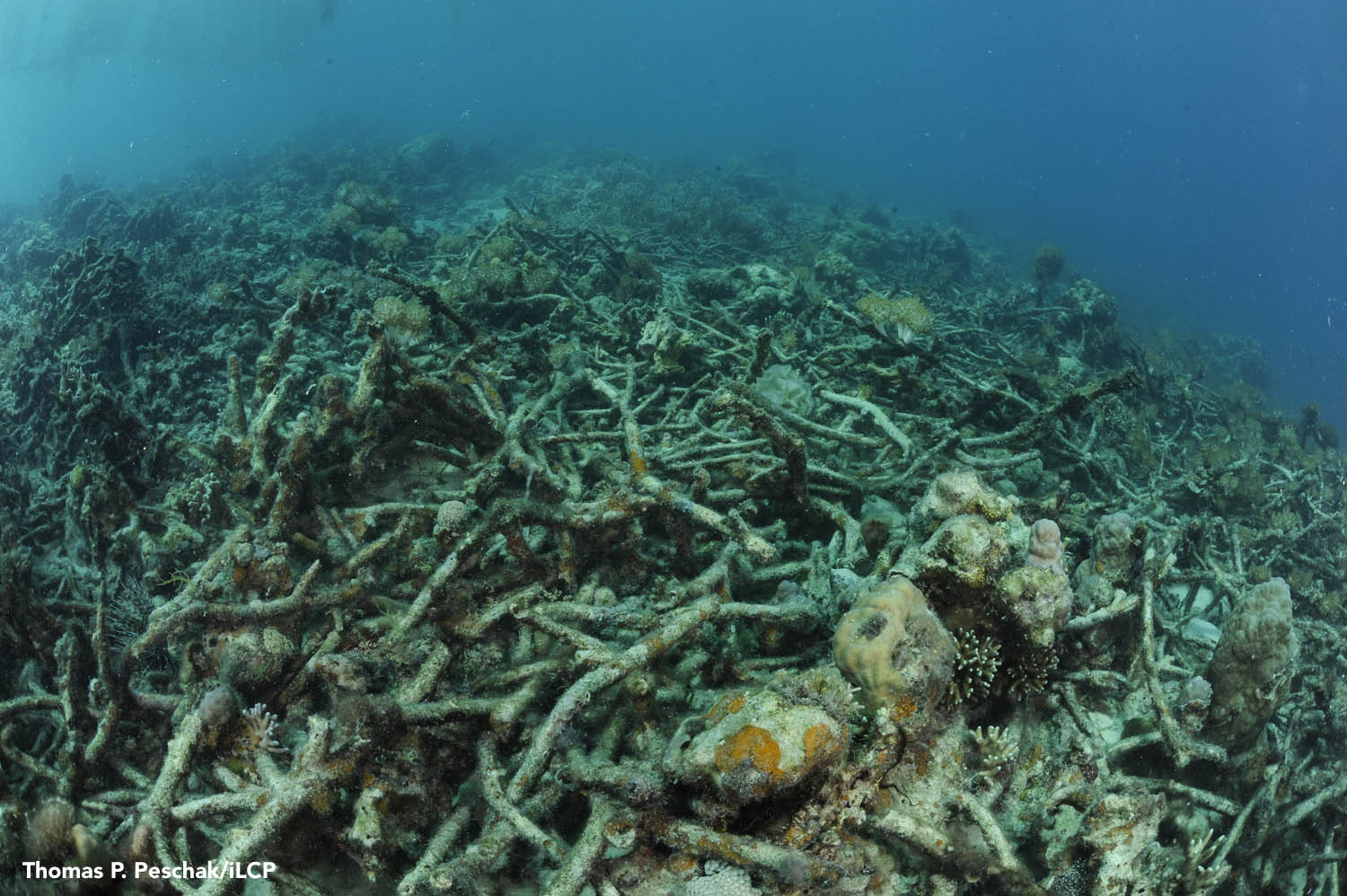 A portrait of devastation: This section of reef was flattened by an explosion. Blasting kills corals and deprives fishes and other animals of vital habitat. Thomas P. Peshak/iLCP