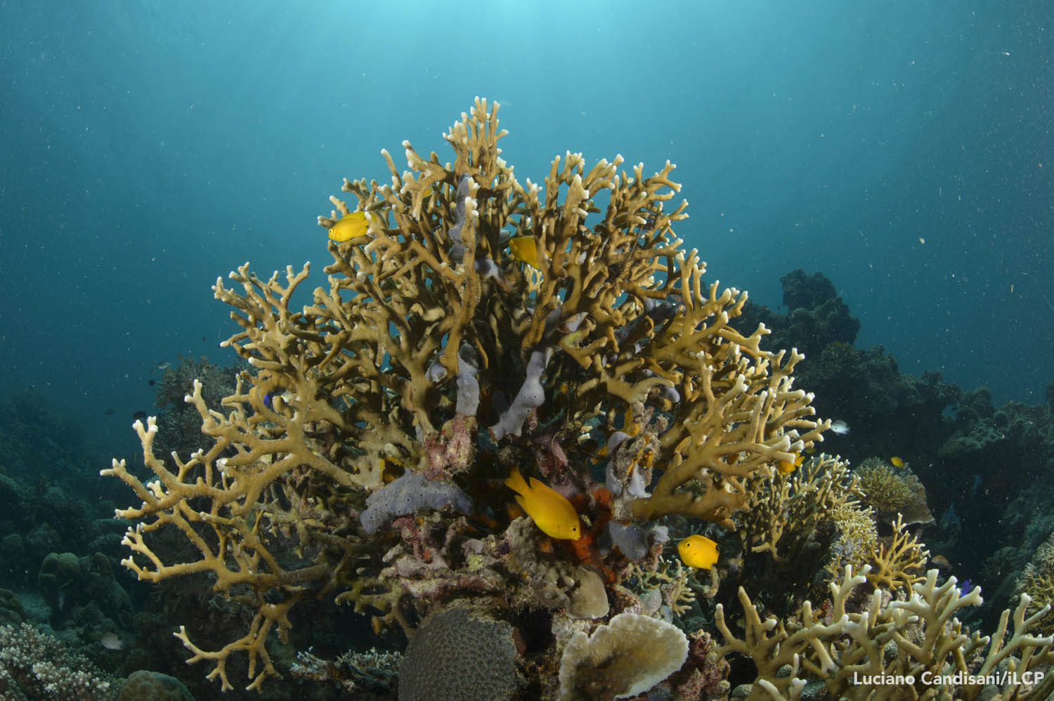 Danajon Bank is home to a dizzying array of fishes, corals, and gastropods. Because of overfishing, however, many sections of the reef have few animals. Luciano Candisani/iLCP