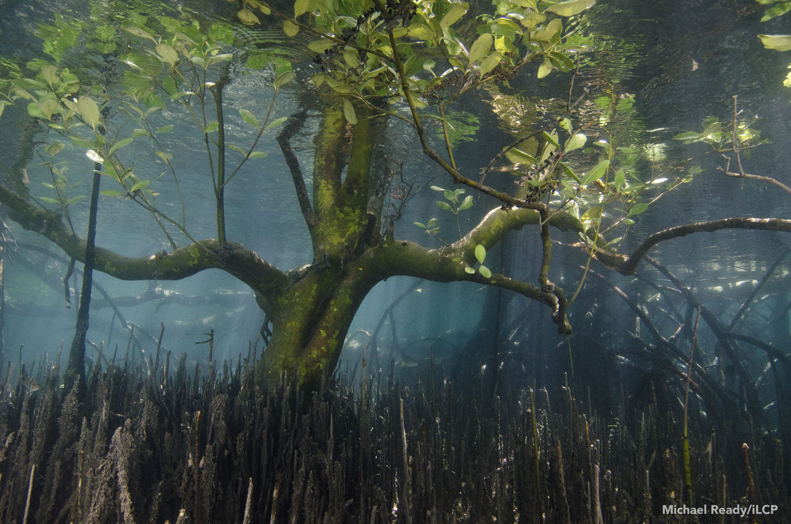 Old-growth mangrove forests like this one can recover and thrive in MPAs. Michael Ready/iLCP