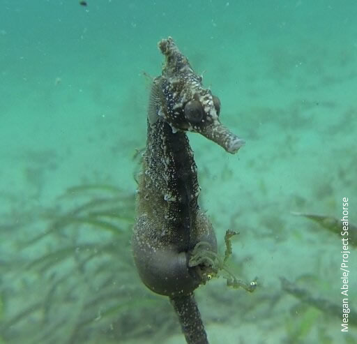 Male  Hippocampus whitei  giving birth off in Nelson Bay, NSW, Australia. Found by Meagan Abele and Clayton Manning while doing seahorse surveys.