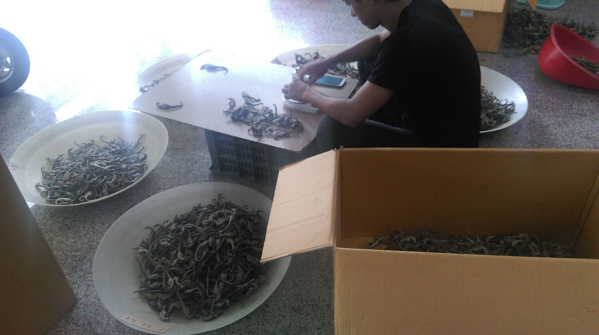 TCM wholesaler, in Kaohsiung, Taiwan, weighing seahorses and categorizing them into different size classes. TC Kuo/Project Seahorse