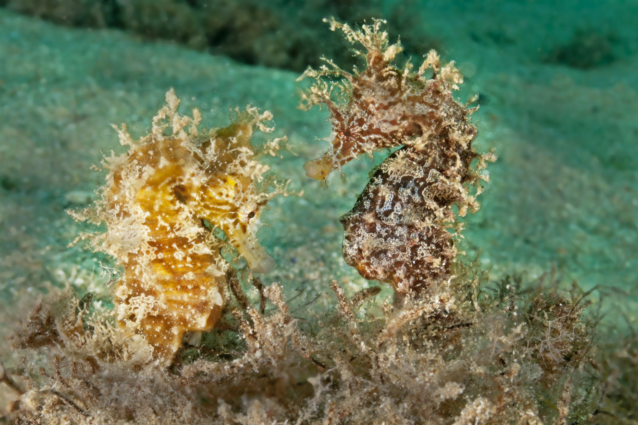 Hippocampus hippocampus  (Short-snouted seahorse). Photo by Gino Meskens/Guylian SOTW