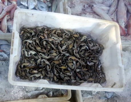 Seahorses ( Hippocampus trimaculatus ) landed along with a few other small fishes caught by a bottom trawler at Qinglan Fishing Port, Wenchang, Hainan Province, China.