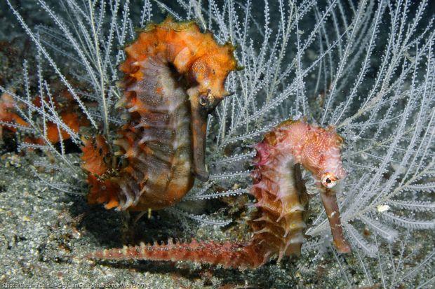Hippocampus histrix. Photo by Bettina Balnis/Guylian Seahorses of the World